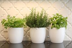 Kitchen herb garden in oversized coffee cup style pots