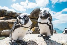 Did you know that SA's best penguin spotting is on the Western Cape coastline at spots including Boulders Beach, Betty's Bay, Robben Island and Gansbaai. Info via South Africa Tourism Cape Town Tourism, Vietnam, South African Wine, African Penguin, Boulder Beach, Anime Sensual, City Pass, The Dunes, Day Tours