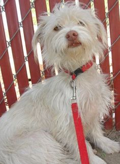 Nina is a 1 year old maltese mix whose not had the best start in life. This little girl came to ARF with her sister when her owner past away and the spouse no longer had time for them. Nina would need to get to know you first before she would be...
