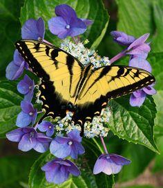 Hydrangea-with-butterfly-PS.jpg (603×694)