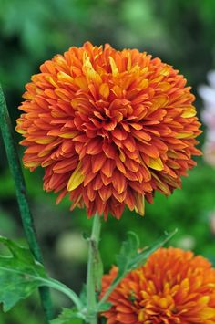 Chrysanthemum: Cheerfulness under adversity