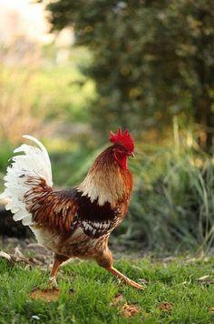 Funny Chicken strutting her stuff across the Farm Field