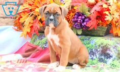 Winnie | Boxer Puppy For Sale | Keystone Puppies