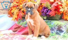 Winnie | Boxer Puppy For Sale | Keystone Puppies Boxer Puppies For Sale, Brighten Your Day, Design Development, Pitbulls, Pit Bulls, Pitbull, Pit Bull Terriers, Pitbull Terrier, Pit Bull