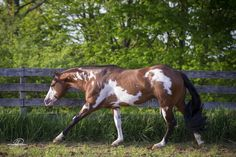 Gamblin Man 4 year old APHA Stallion, proven cutting and working cow horse champion 2 years straight - Most Beautiful Animals, Beautiful Horses, Horse Markings, American Paint Horse, All The Pretty Horses, Horse Pictures, Horse Breeds, Show Horses, Pinto Horses