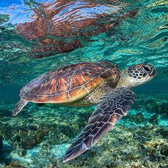 Underwater Animals, Underwater Creatures, Ocean Creatures, Sea Turtle Pictures, Turtle Images, Beautiful Sea Creatures, Animals Beautiful, Cute Animals, Baby Sea Turtles