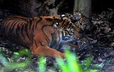 Sumatran Mom with her cubs - ZooBorns