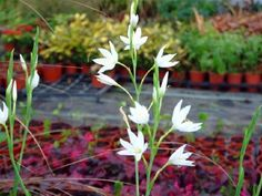 Schizostylis coccinea alba Common Name: Kaffir Lily  Flowers from summer to autumn.A good cut flower.Grow in moist soil and a sunny position.
