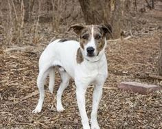 This sweet soul is Brother.  He's a 3 year old hound dog mix.  Originally from New Orleans, LA, Brother was relocated to Wayside Waifs animal shelter in Kansas City, MO in hopes he'd have a better chance of finding a home.