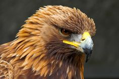 The Golden Eagle is one of the largest, fastest, nimblest raptors in North America. Lustrous gold feathers gleam on the back of its head and neck; a powerful beak and talons advertise its hunting prowess.