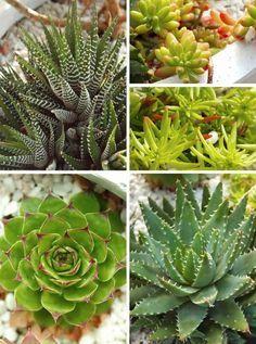 variétés plantes succulentes