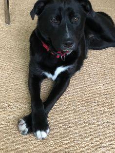 Aggie Border Collie Mix, Labrador Retriever, Dogs, Cute, Animals, Labrador Retrievers, Animales, Animaux, Kawaii