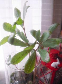jouluruusu kasvatti lehdet