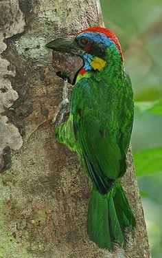 Red-crowned Barbet