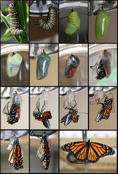 Monarch Butterfly Life Cycle by HelenParkinson We just bought a live butterfly garden, we can photograph to record the process.