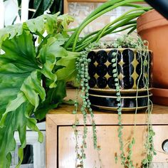 Kotona on hämmästyttävän tilavaa sekä keittiön pöydällä että kasvihyllyillä, kun esikasvatukset ja pelargonit ovat mökillä. Ehkä helmivillakkokin pääsee takaisin ikkunalle. ♥️ #katinoravanpesä #plants #plantsofinstagram #iloveplants #plantlover #crazyplantlady #plantlove #urbanjungle #urbanjunglebloggers #ihavethisthingwithplants #greenthumb #iamplanthoarder #houseplantclub #secretsofgreen #moodcollectors #embraceplants #lifearoundplants #planttherapy #indoorjungle #teamplantlove… Plants, Instagram, Plant, Planets