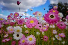 Bed of flowers, Spring Season - Australia. Click picture to see the full image. Check out my page for more photography projects.
