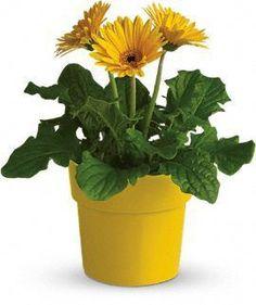 Gerbera Daisy Plant - yellow.