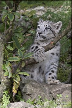 Clouded Snow Leopard Cub Posing Really Nicely. Big Cats, Cool Cats, Cats And Kittens, Baby Snow Leopard, Leopard Cub, Beautiful Cats, Animals Beautiful, Types Of Wild Cats, Wild Creatures
