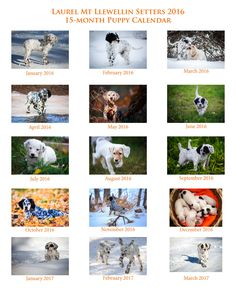 The Laurel Mt Llewellin Setter 15-month Puppy calendar is available for ordering!