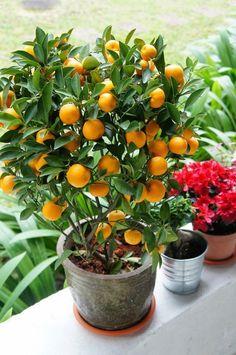 """MINI Table Top Mandarin Orange 'Gold Nugget' (Citrus reticulata)18"""""""