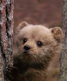 Small bear behind tree #cute   #bear   #gif via http://xeeme.com/LADYTEREZIE …