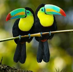 Look like good book ends keel BILLED TOUCANS lives South America. These two long bills, they feed on fruit, insects and lizards, when nesting they lay white eggs and grow from that giant bill is Cute Birds, Pretty Birds, Beautiful Birds, Animals Beautiful, Beautiful Pictures, Tropical Birds, Exotic Birds, Colorful Birds, Exotic Pets