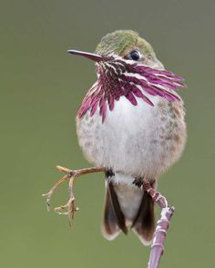 ~~Calliope Hummingbird, Stellula calliope by Glenn Bartley~~