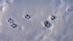 Fox Tracks | dsc03835-red-fox-tracks-in-snow.jpg