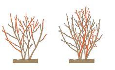 Sommerschnitt bei Johannisbeeren: Abgetragene Seitentriebe und Konkurrenztriebe abschneiden (links), alte Hauptäste entfernen (rechts)