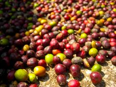 coffee beans from Guatemala