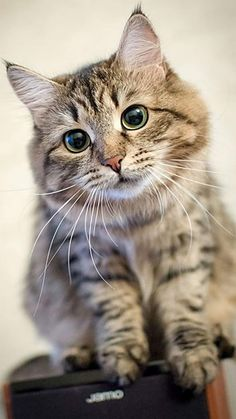 Cute tabby kitty. Fluffy Kittens, Cute Cats And Kittens, Kittens Cutest, Pretty Cats, Beautiful Cats, Animals And Pets, Cute Animals, Youtube Cats, Domestic Cat