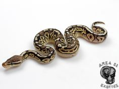 Axanthic Pewter - Morph List - World of Ball Pythons Exotic Pets, Exotic Animals, All About Snakes, Ball Python Morphs, Cute Snake, Python Snake, Shadow Dragon, Beautiful Snakes, Reptiles And Amphibians