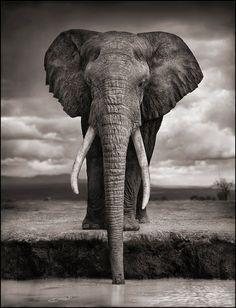 Africa | Elephant Drinking. Amboseli National Park, Kenya |  © 2010 Nick Brandt