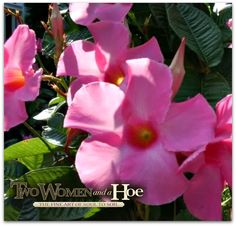 Beautiful MANDEVILLA! Perfect for the garden and containers to create height!