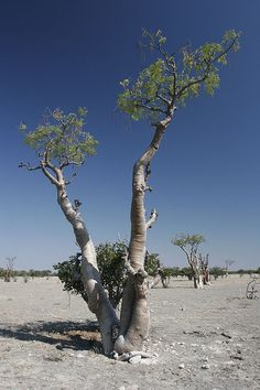 moringa forest | Flickr - Photo Sharing!