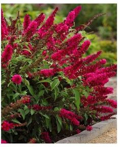Buddleia 'Royal Red' - 'Royal Red' creates an amazing effect in the garden with rich wine-red blossoms, gracefully arching stems, and deep green foliage. A season-long performer, this gorgeous flowering shrub begins blooming in early summer and continues until the first frost of fall. Commonly known as a butterfly bush, 'Royal Red' draws pollinators into the garden with abundant, nectar-rich flowers. Buddleia 'Royal Red' in a 3-quart pot. #affiliate #scentedshrub #buddleia