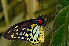 Cairns birdwing - melbourne zoo