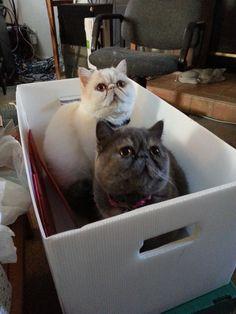 Digit got into Mochi's box  (exotic shorthair cat)