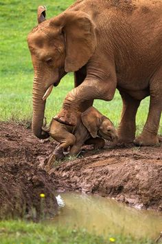 """Mother elephant crouch in the mud and pick her baby up with her trunk. """"His mum saw it in seconds and helped him before he fell deeper into the water and what would have been a much more difficult situation."""