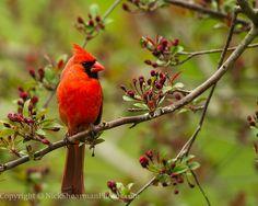 Northern Cardinal | Shilohs Wildlife Photography