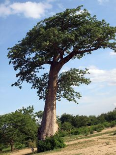 Tree in Malawi, Africa