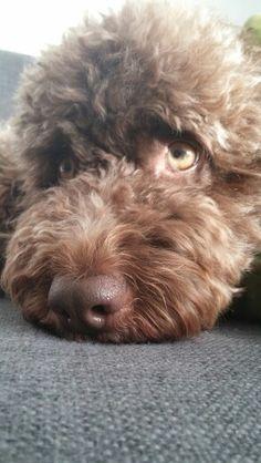 My dog #Marbella perro de agua espanol
