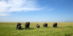 Elephants in the plains of Serengeti, Serengeti National Park, Tanzania