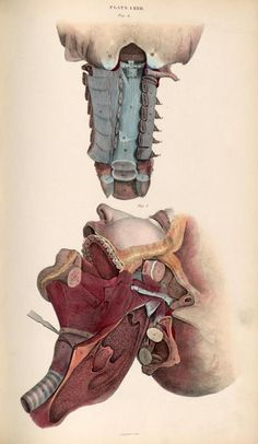 Dissection of the face and neck from 'System of Anatomical Plates' by John Lizars, 1825. ~~ www.facebook.com/TheIrregularAnatomist ~~ www.twitter.com