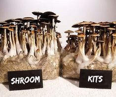 Mushroom cultivation kits include everything you need to grow your own mushrooms at home! These grow kits offer the easiest way to grow mushrooms. Grow Your Own Mushrooms, Mushroom Grow Kit, Growing Mushrooms, Poisonous Mushrooms, Edible Mushrooms, Stuffed Mushrooms, Mushroom Spores, Mushroom Cultivation, Growing Psychedelic Mushrooms