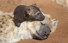 Monarto Zoo heralds the public debut of one Hyena cub, Pinduli, while celebrating Australia's first successful c-section delivery of the species with a second, unnamed cub. See and learn more on ZooBorns: http://www.zooborns.com/zooborns/2013/03/tale-of-two-hyena-births-at-monarto-zoo.html
