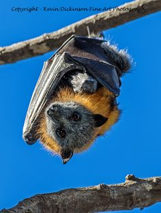 Fruit Bat - Flying Fox Fruit Bat - Flying Fox These unique animals help regenerate our forests and keep ecosystems healthy through pollination and seed dispersal. They are a migratory and nomadic 'keystone' species; meaning a species that many other species of plants and animals rely upon for their survival and wellbeing. Flying foxes, like bees, help drive biodiversity Kevin Dickinson fine art photography, canon photography, buy wildlife photograph, buy wildlife art