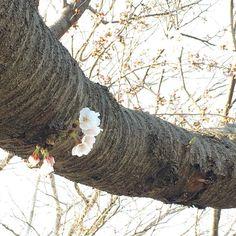 ちょっと咲いてた #水元公園 #さくら #桜 #葛飾区