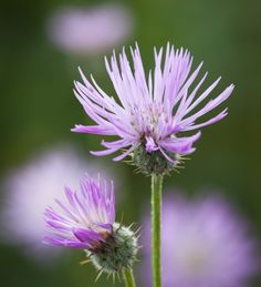 Amberboa muricata (Sweet Sultan) is easy to grow, a very long-flowering scented thistle-like flower which is a new discovery I love for picking. Long Flowers, Cut Flowers, Wedding Flowers, Flower Patch, Annual Plants, Edible Garden, Flowering Trees, Garden Inspiration, Garden Ideas
